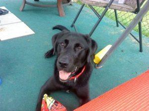 Labrador retriever at 6 months old