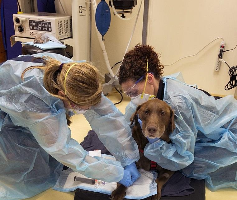 Labrador retriever cancer treatments