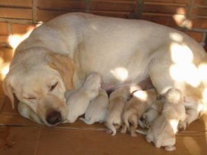 Labrador Retriever length of pregnancy