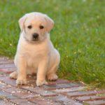 Labrador retriever male puppy names