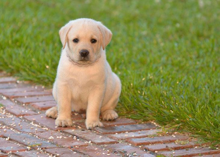 Labrador retriever male puppy names