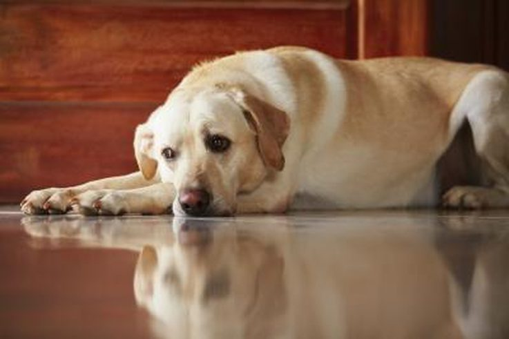 Labrador retriever pregnancy signs