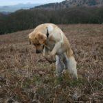 Labrador retriever size at 6 months