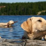 Labrador retriever swimmers ear