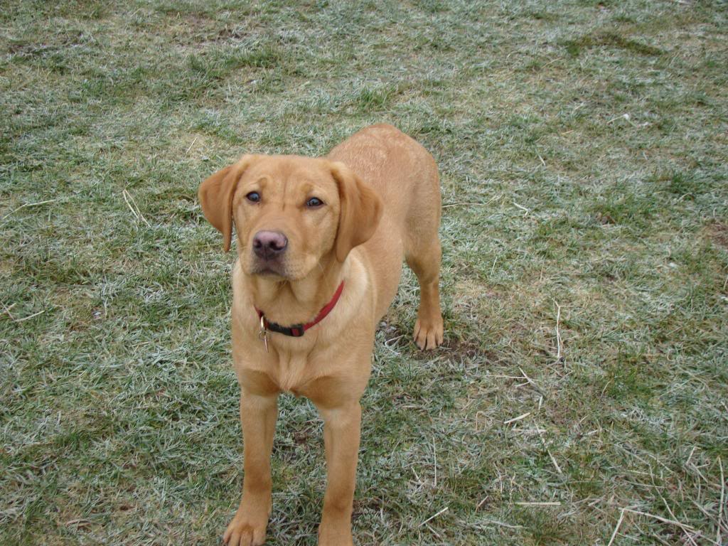 Labrador retriever weight at 6 months