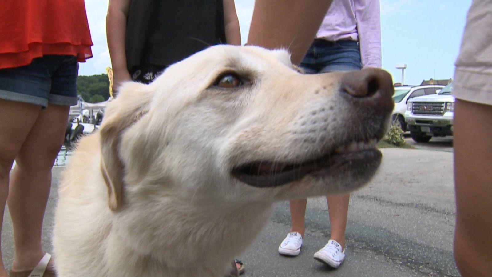 Labrador retrievers 6 month old lab behaviour