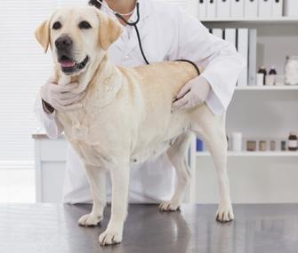 Liver cancer labrador retrievers