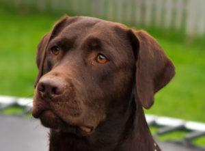 Male chocolate labrador retriever names