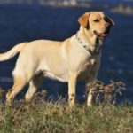 Male yellow labrador retriever names