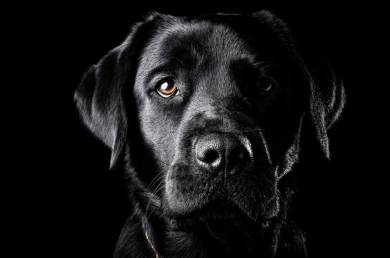 Names for male black labrador retrievers