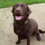 Names for male chocolate labrador retrievers