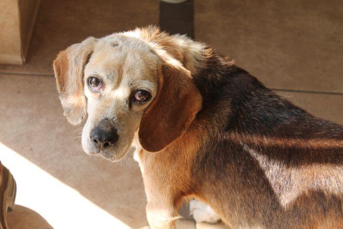 Older Beagle limping