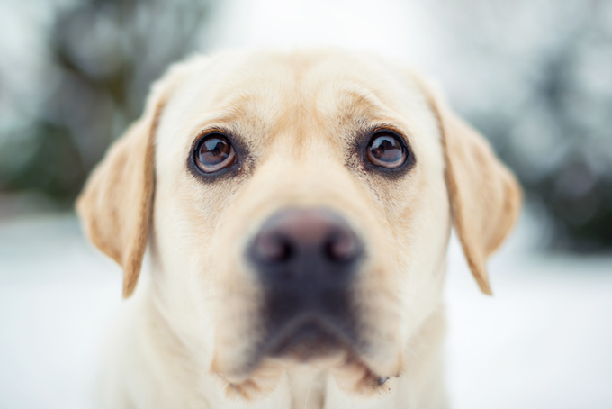 Popular names for male labrador retrievers