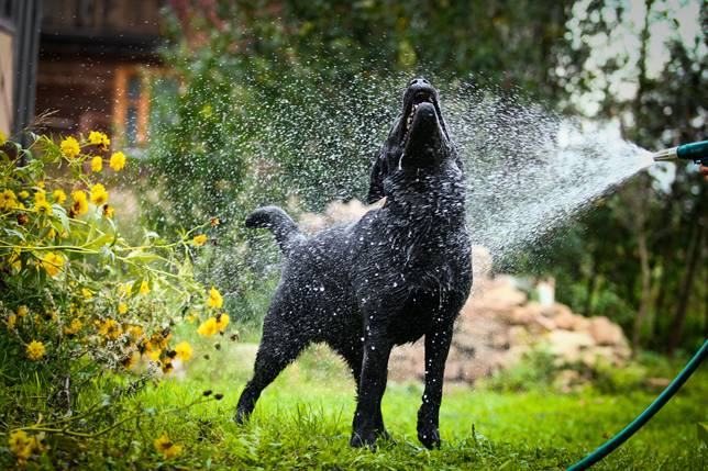 5 interesting facts about labrador retrievers