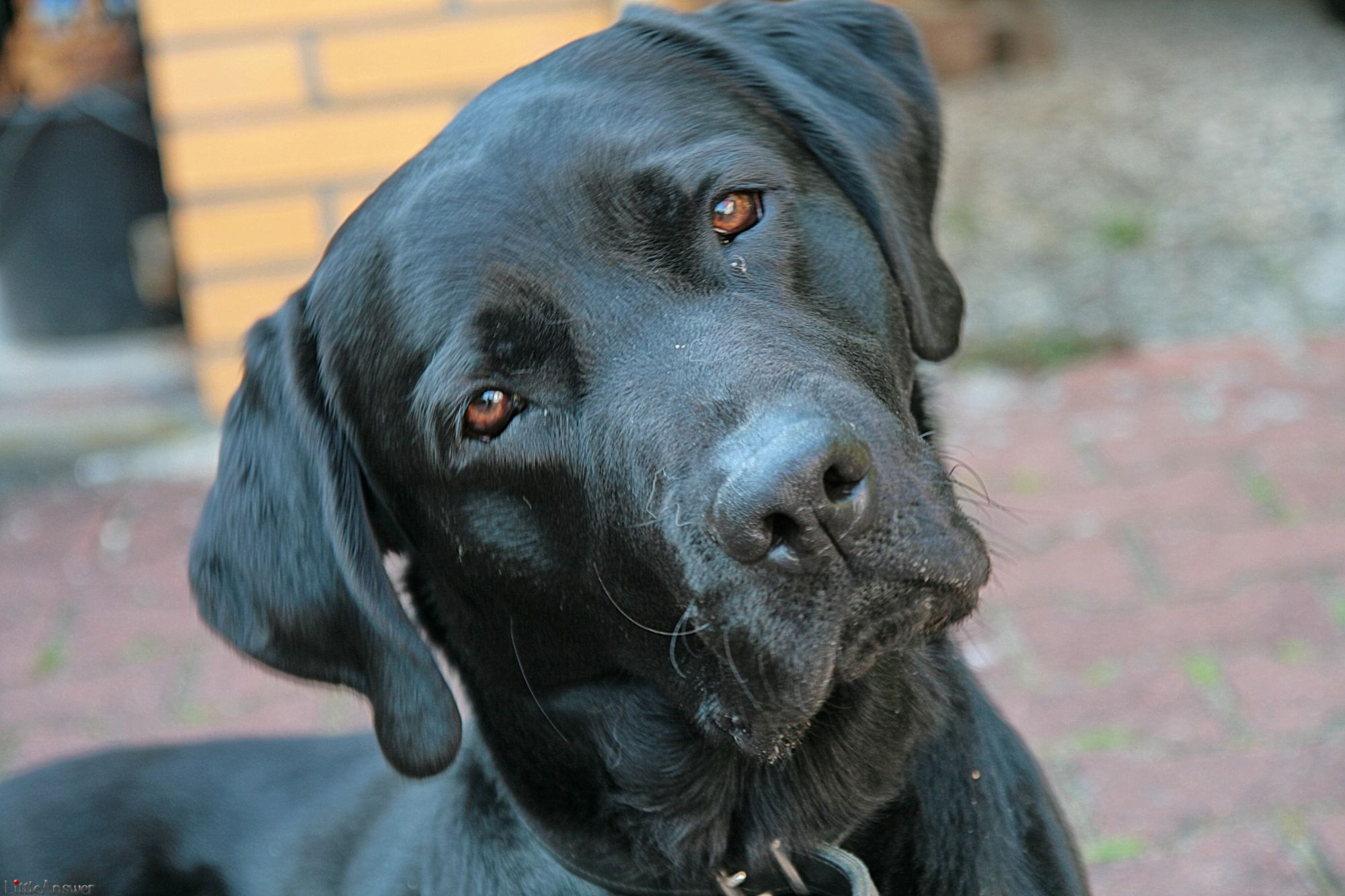 Average labrador retriever lifespan