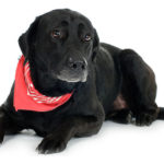 Average life expectancy black labrador retriever