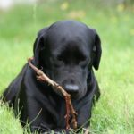 Average life expectancy labrador retriever mix