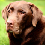 Average life span for a labrador retriever