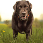Average lifespan of a chocolate labrador retriever