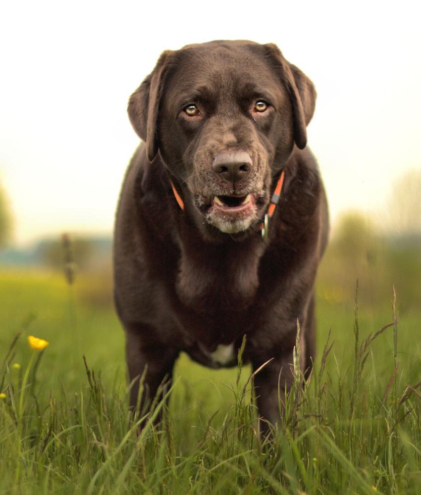 Average lifespan of a chocolate labrador retriever