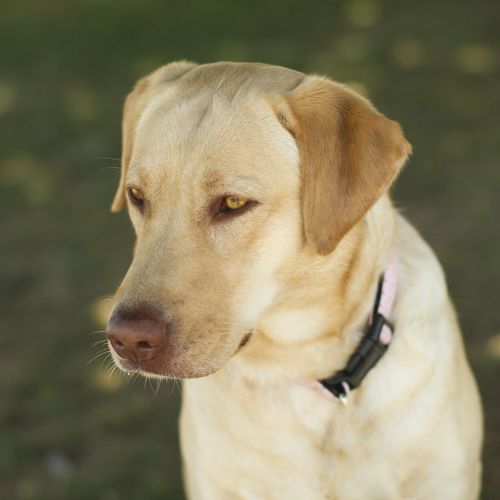 Average lifespan of a female labrador retriever