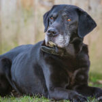 Average Lifespan of a labrador retriever