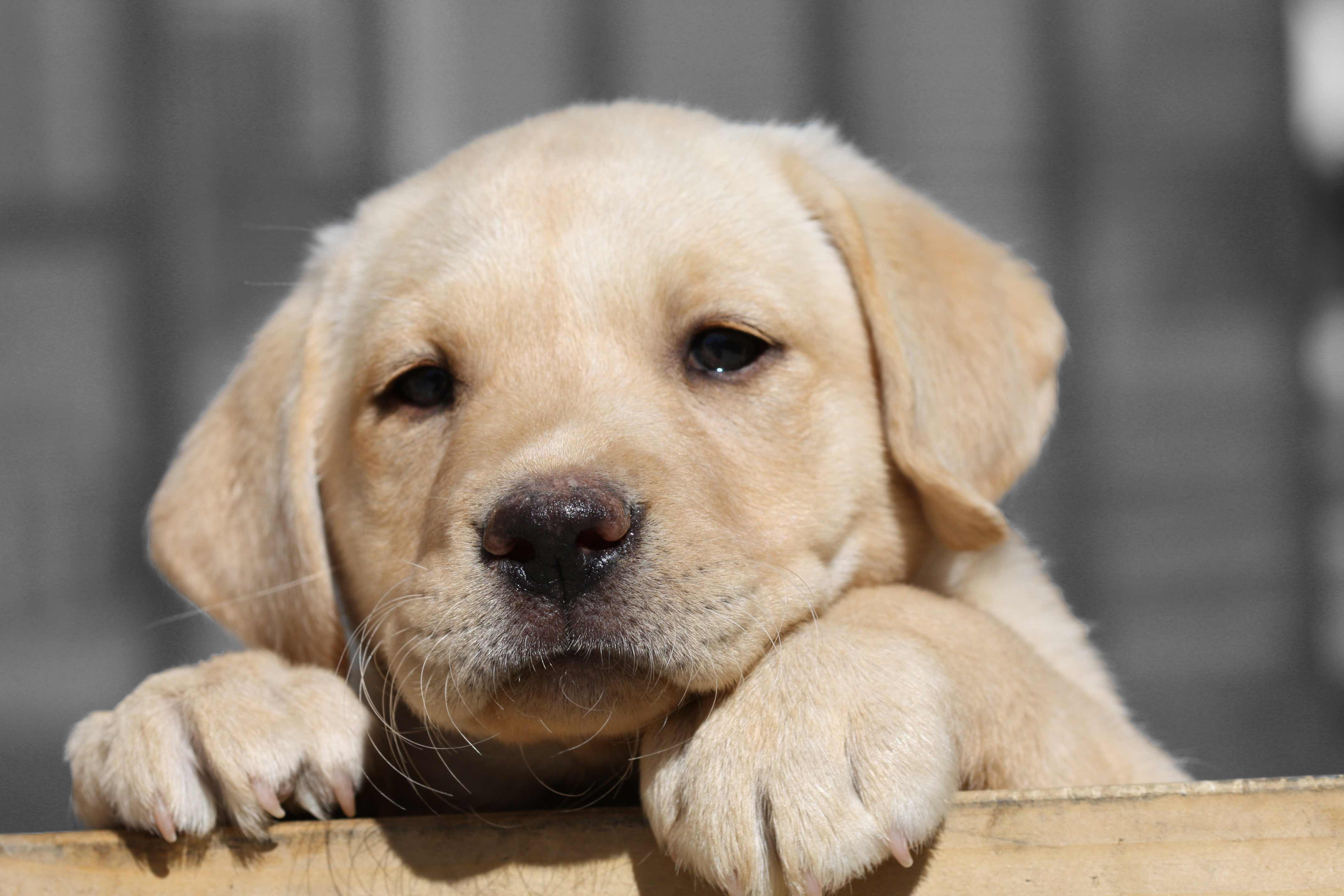 Average lifespan of labrador retriever