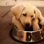Best dog food for a labrador retriever puppy