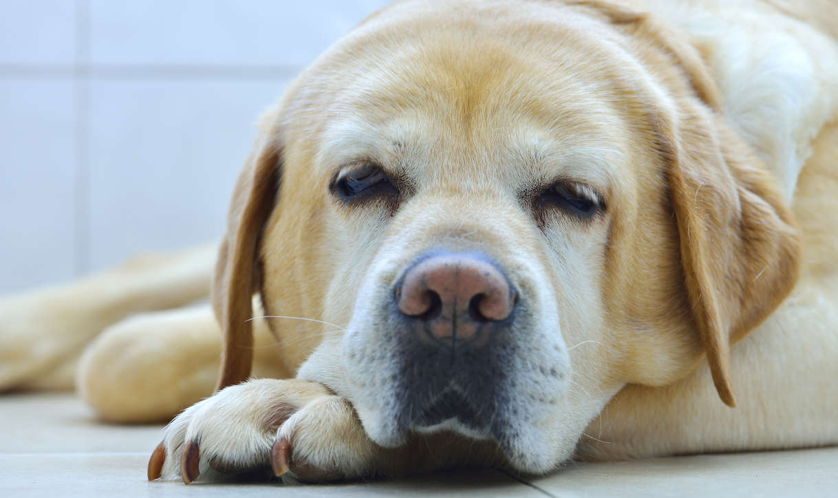 Best Senior Dog Food For Senior Jack Russell