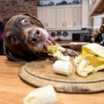 Best food labrador retriever