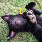 Black labrador retriever dry skin