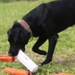Black labrador retriever training tips