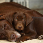 Chocolate labrador retriever facts
