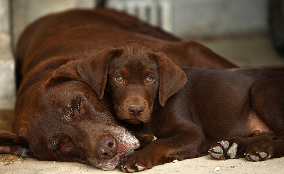 Chocolate Labrador Retriever Facts 1001doggy Com