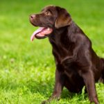 Chocolate labrador retriever training tips