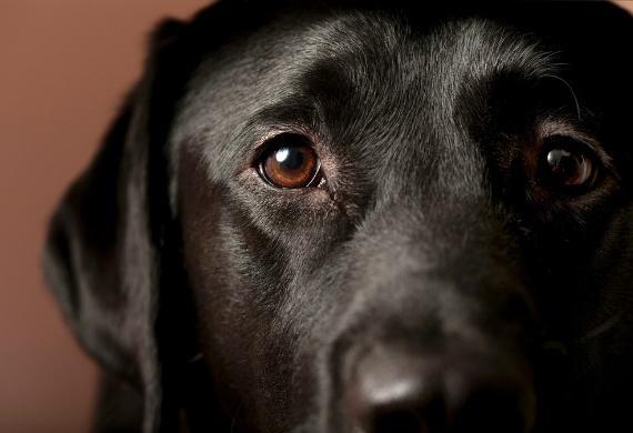 Common eye problems in labrador retrievers