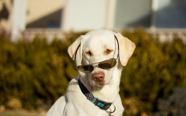 Common eye problems labrador retrievers