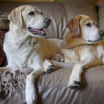 Do labrador retriever dogs shed