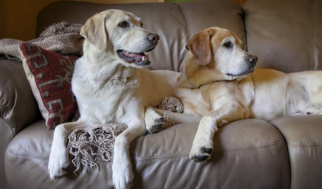 Do labrador retriever dogs shed