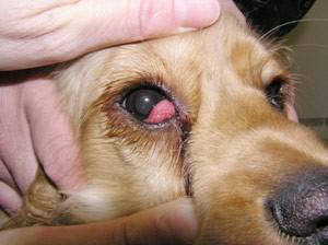 Eye diseases in labrador retrievers