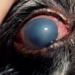 Eye problems in labrador retrievers