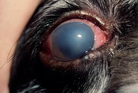 Eye problems in labrador retrievers