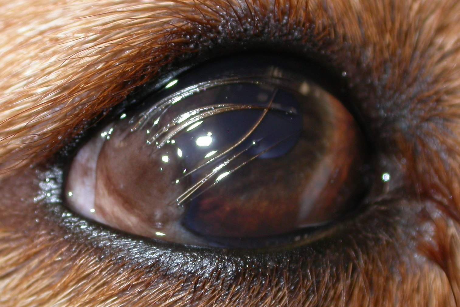Eye problems with labrador retrievers