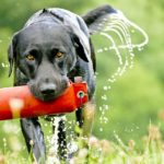Fact about labrador retriever