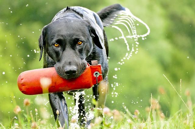 Fact about labrador retriever