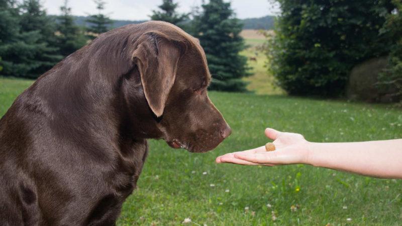 How do you potty train a labrador retriever