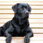 How long do labrador retrievers shed