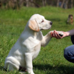 How to potty train labrador retriever puppy