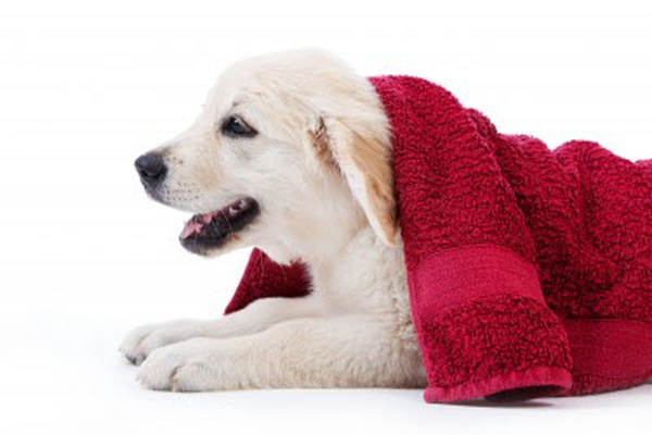 How to wash a labrador retriever puppy