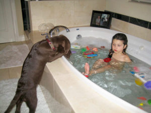 Labrador retriever bathing how often